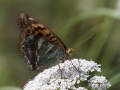 argynnis-paphia-copia