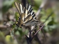 Iphiclides.