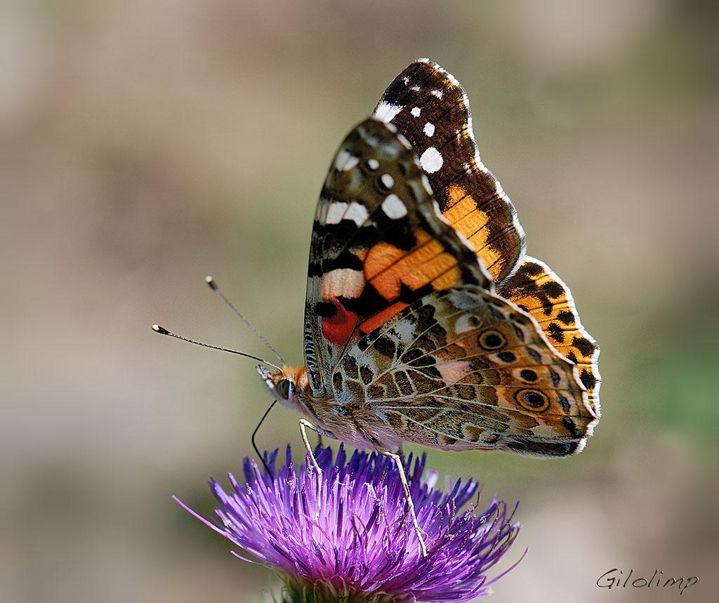 """Mariposas viajeras….   Regalos de la naturaleza: """" Flores ..."""