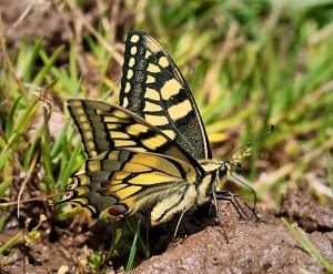 Mariposa rey.