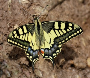 Papilio machaón.