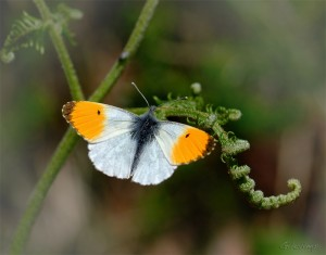 aurora mariposas